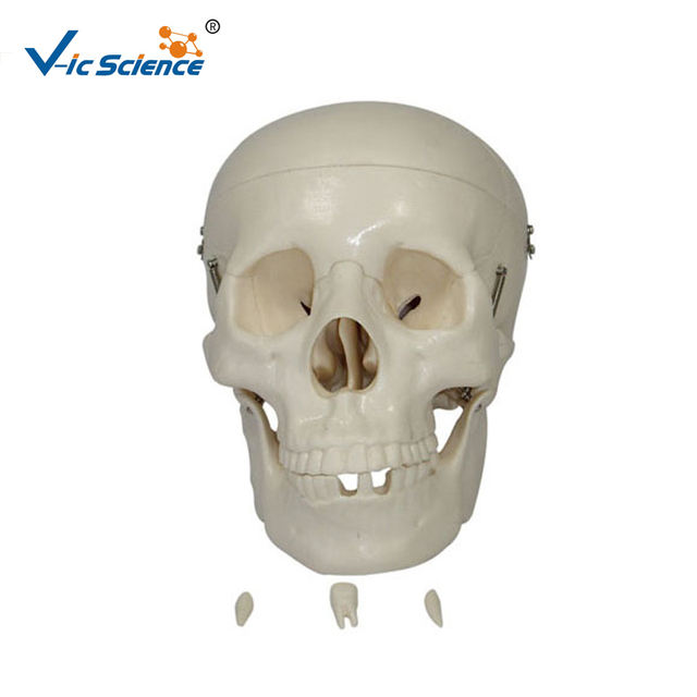 Skull Model Anatomy Wholesale Model Anatomy Suppliers Alibaba