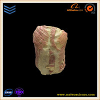 medical teaching model anterior of thoracoabdominal plastinated figures