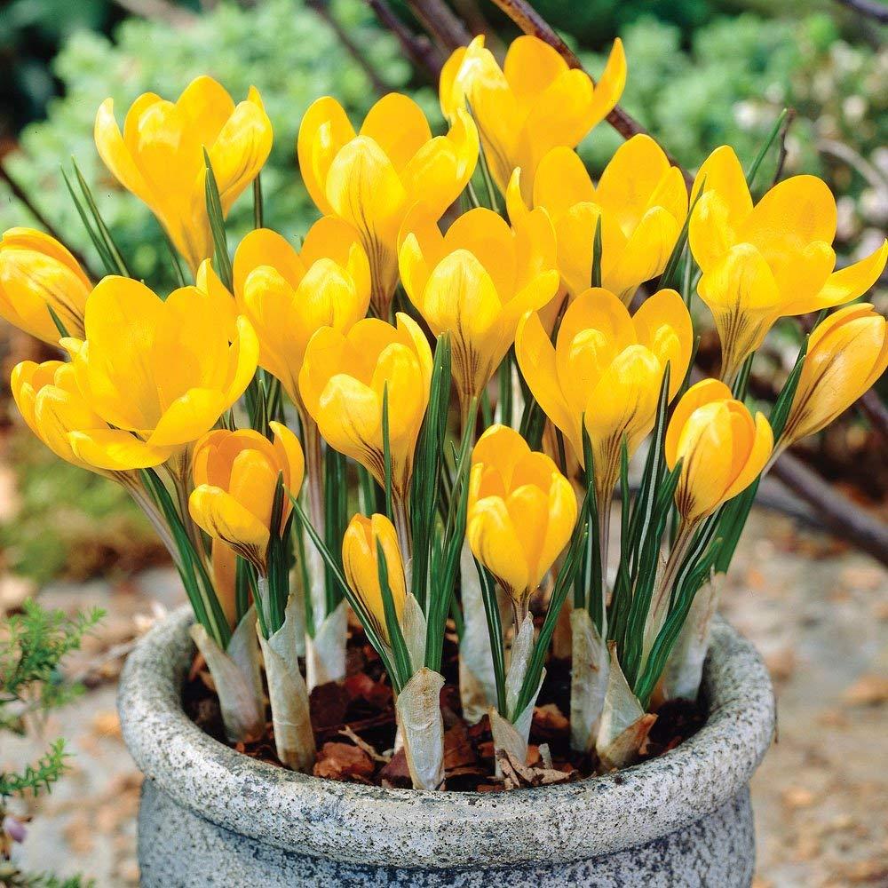 70b96f91603716 Autumn Crocus-- Spring Blooming Yellow Mammoth! 15 Fresh Bulbs