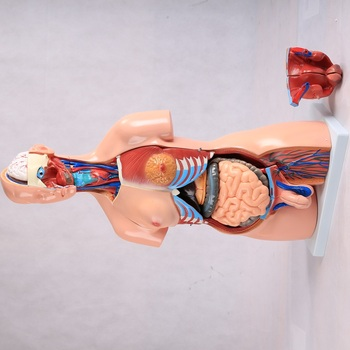 Quality Science China Advanced Anatomical Doll Human Teaching Medical Eye Model 85cm Anatomy Plastic Body Torso Trunk Manikin