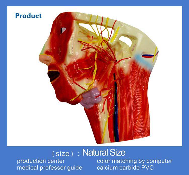 3 Teile Anatomie Blutgefäß Und Nerven Verteilung Modell In Die ...