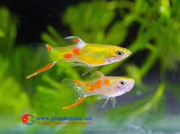 Endler Guppy Fish / Guppy Fish For Sale