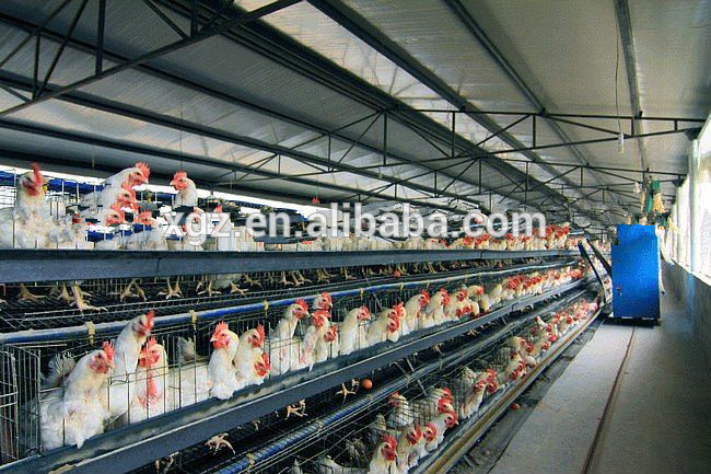 broiler and layer poultry farm shed with equipment