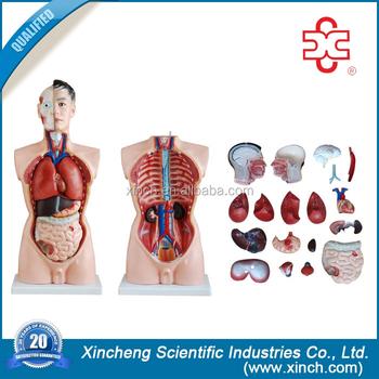 Model No.xc-201 Anatomy And Physiology Human Torso Doll - Buy Model ...
