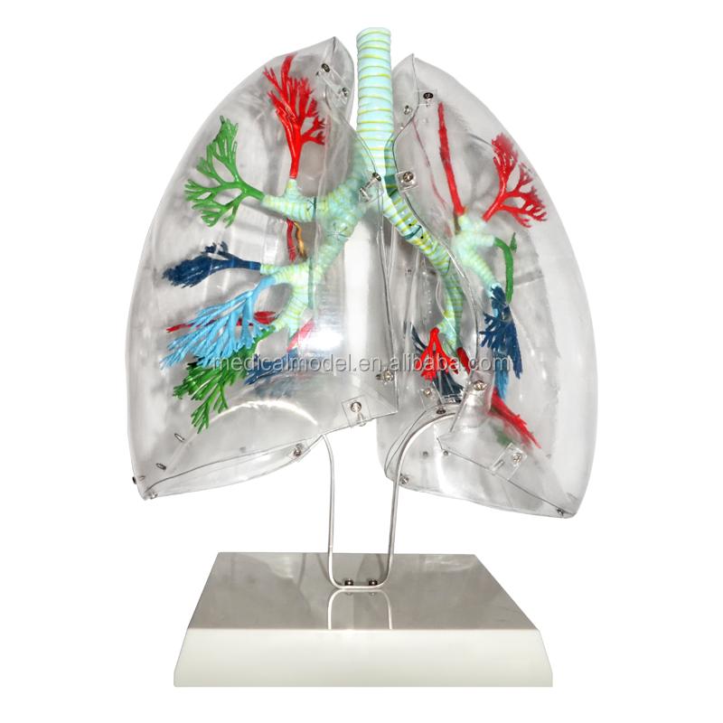 Finden Sie Hohe Qualität Anatomie-modell Der Lunge Segmente ...