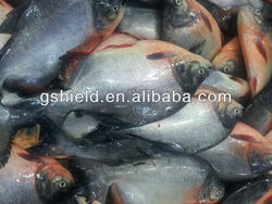 Frozen Pacu fish