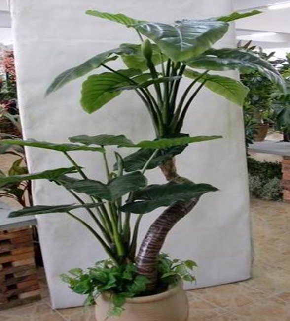 K tall popular outdoor plants for office on sale buy popular outdoor plants tall outdoor - Tall office plants ...