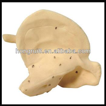 Iso Enlarged Temporal Bone Modelbone Anatomy Model Buy Temporal