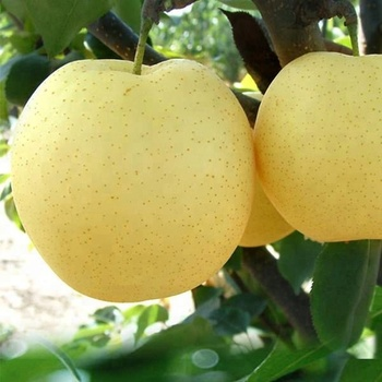 supplier supply export china product for sale chinese fresh pear fruit crown pear