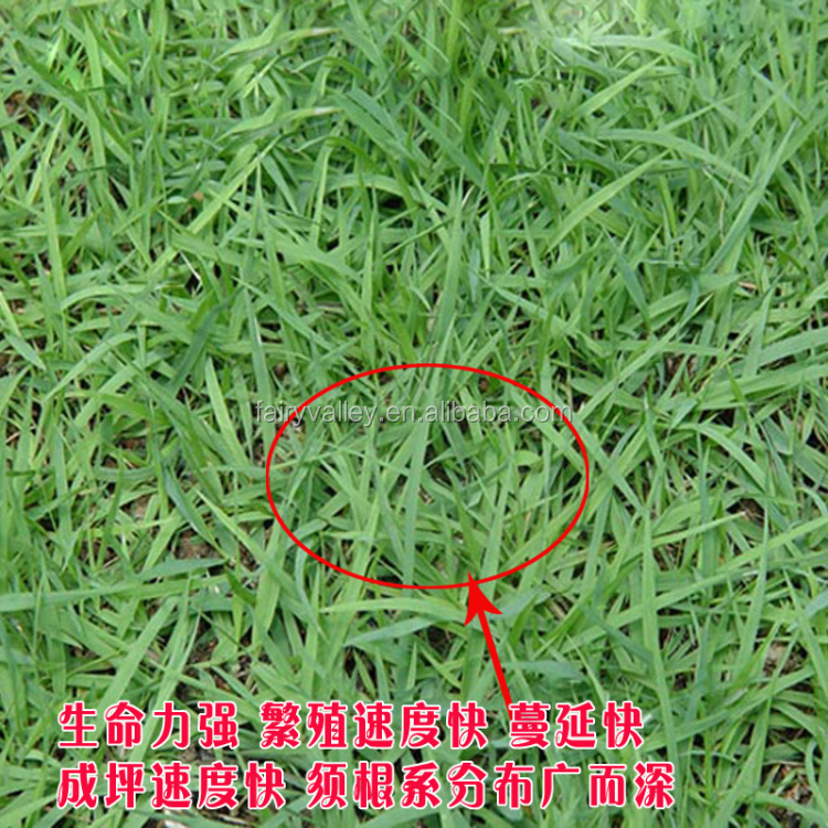 High Germination Rate High Purity Grass Seeds For Growing ...