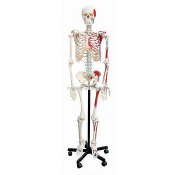Menschliches Skelett Modell Mit Halb Muskel Menschliches Skelett ...