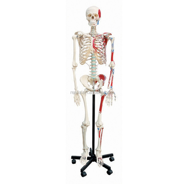 Buy Cheap China Skeleton Human Model Products Find China Skeleton