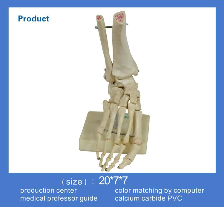 Human Plastic Foot Skeleton Anatomy Model - Buy Foot Skeleton ...