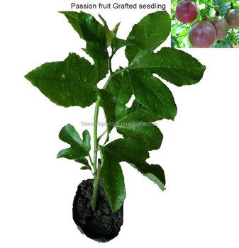Injerto De Fruta De La Pasion De La Planta Buy Planta De Fruta De La Pasion Product On Alibaba Com