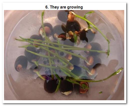 Water Lotus Flower Seed Water Lily Flower Seeds For Growing Buy