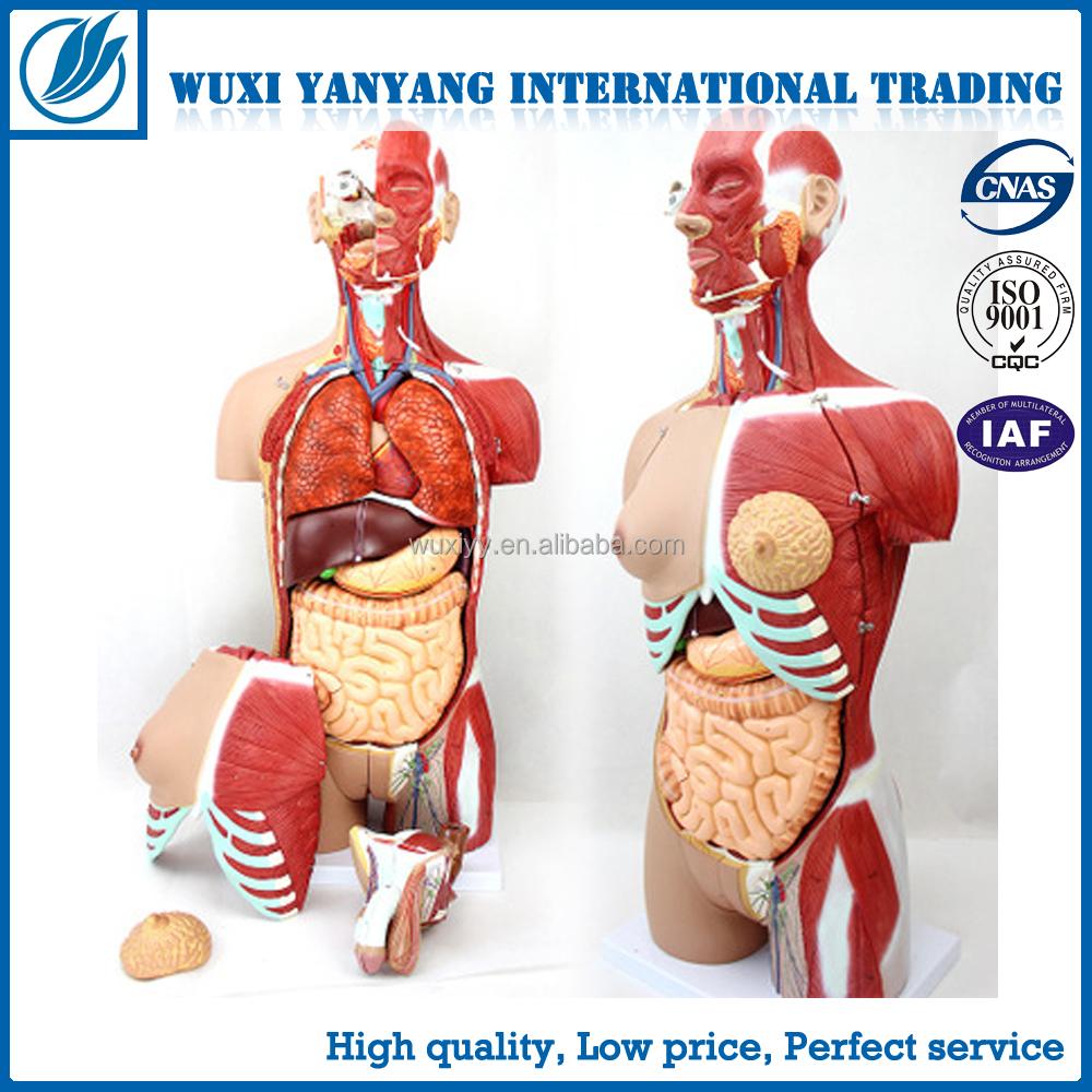 Anatomía Humana modelos-torso humano con intercambiables órganos ...