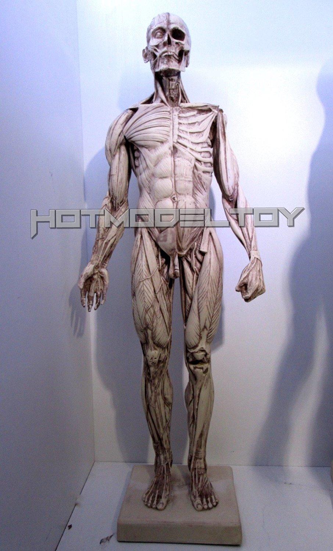Buy Version 1 Human Male Anatomy Figure Model 24 Inch Polyresin In