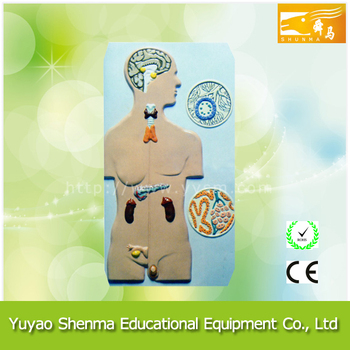 Human Endocrine System Model Medical Education Human Body Anatomical ...