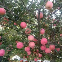 High Quality Fresh Fuji Apple From China
