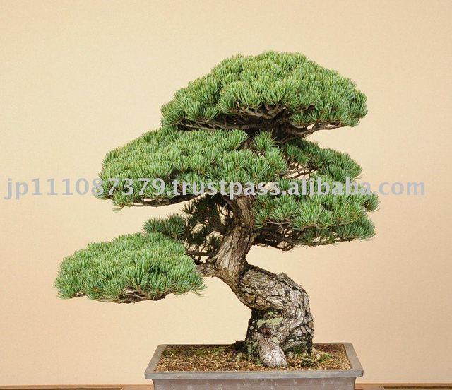 Bonsai Japanese Tree Buy Japanese Bonsai Tree Interesting Plant