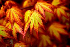 Cheap Small Japanese Maple Find Small Japanese Maple Deals On Line