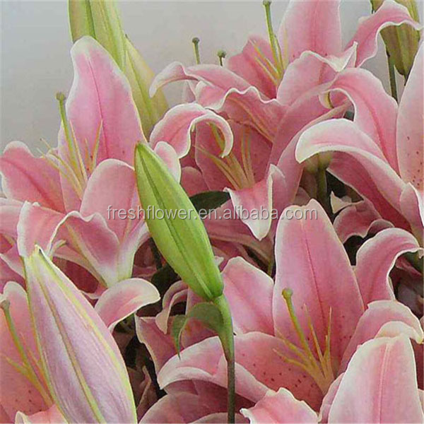 Supply Different Kinds Lily Flowers From Original Flower Plants ...