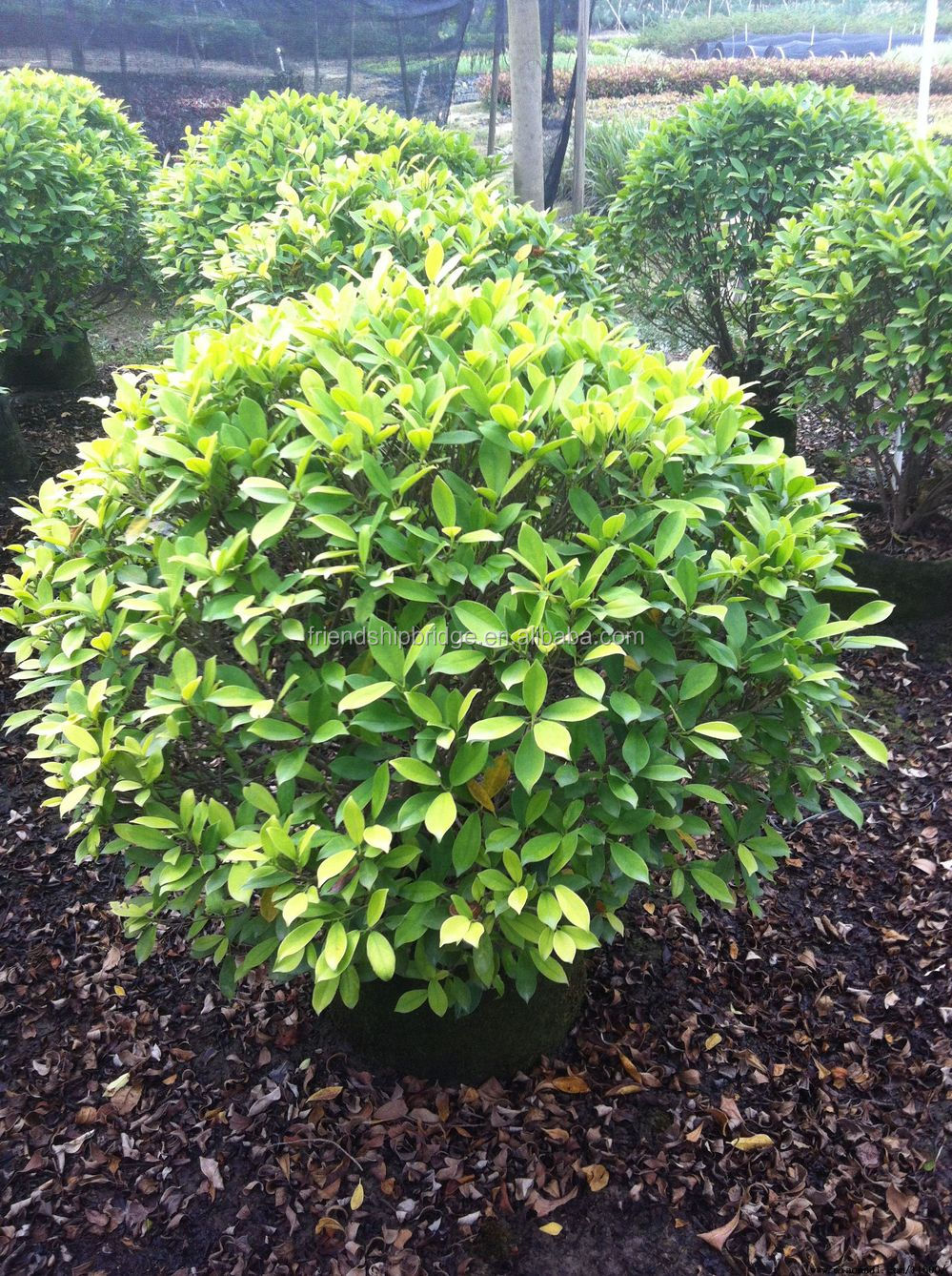 Outdoor ornamental plants - Evergreen Foliage Outdoor Landscaping Decorative Ornamental Plants Ficus Microcarpa Cv Golden Leaves
