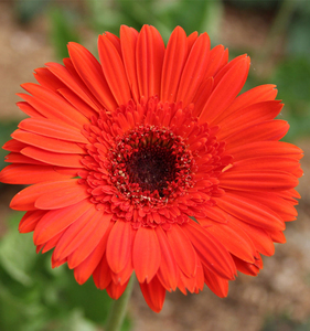High quality service Preserved Flower Gerbera Flowers Export Southeast Asia environment-friendly from Kunming