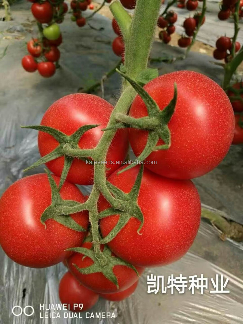 I bought tomato seeds President F1, Who planted it, how do you like it