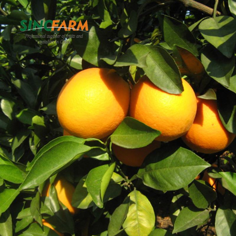 Mandarin Orange Fruit Cheaper Price