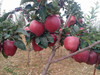 2014 new season red chief apples