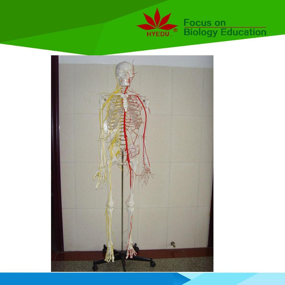 Krankenhaus Schule Verwenden Life Size Ganze Körper Skelett Modell ...