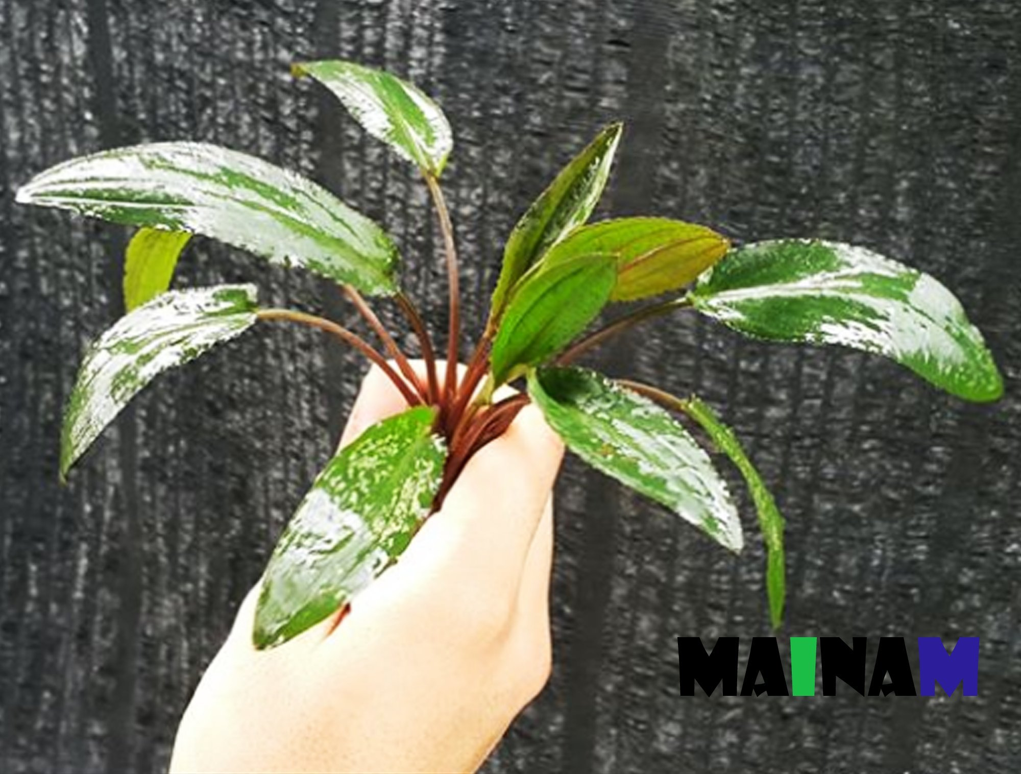 Cryptocoryne Wendtii Stem Bundle Freshwater Live Aquarium Plants Decoration By Mainam