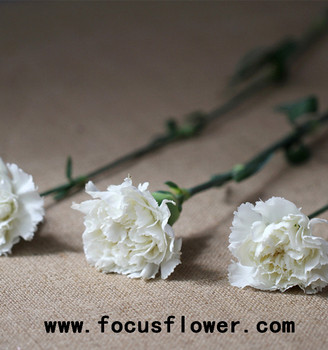 Beautiful white carnations bulk wholesale export fresh cut flowers beautiful white carnations bulk wholesale export fresh cut flowers wholesale preserved flower snow white for home mightylinksfo