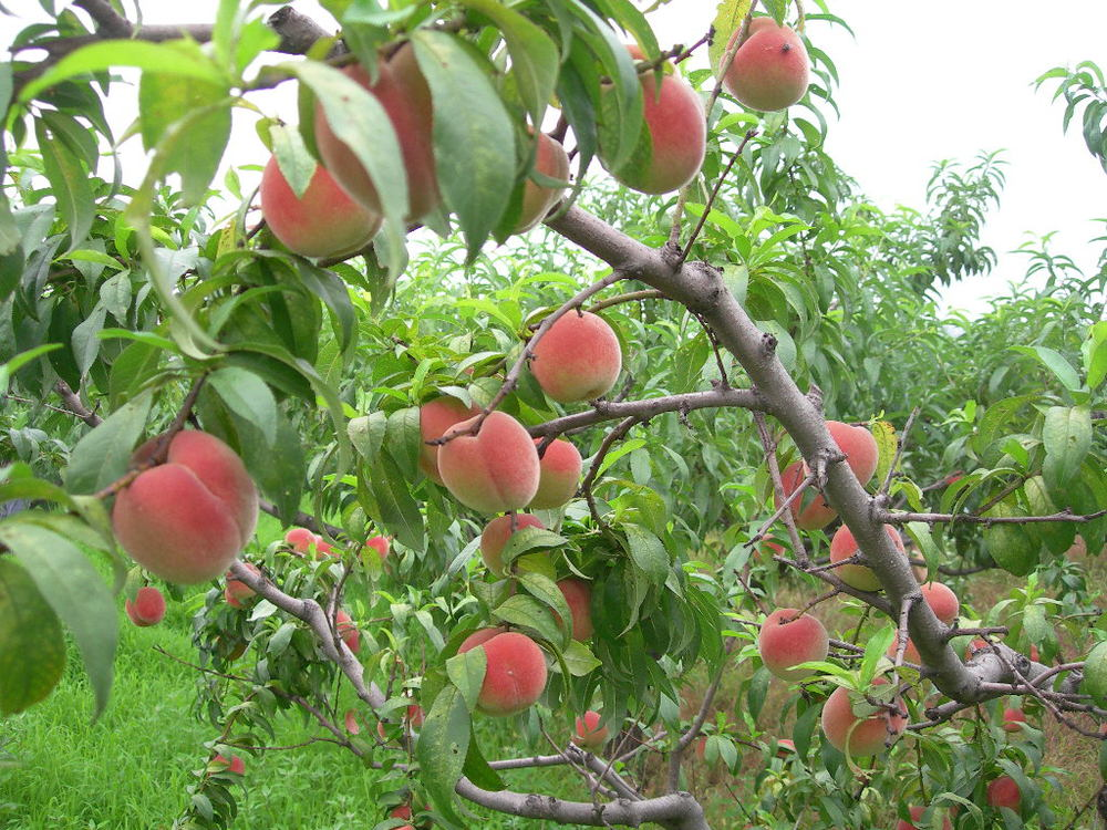 2016 High Quality Fruit Tree Seeds Peach Seed For Sale ...