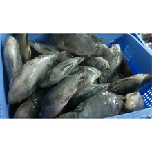 Frozen Whole Round Gutted Black Tilapia (Oreochromis Niloticus)