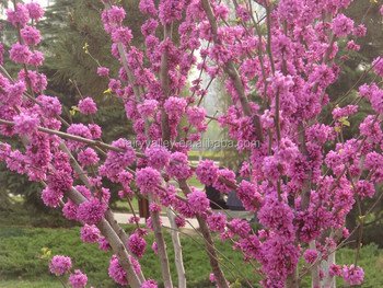 2016 Chinese Redbud Seeds Judas Tree Seeds For Planting