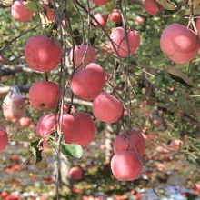 apple manufacturer exports Delicious and juicy apple fruit fresh red fuji