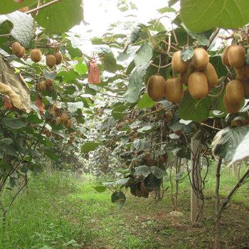 Fabelhaft Kiwisamen - Buy Kiwi Samen,Kiwi Samen,Kiwi-baum Samen Product on #SB_95