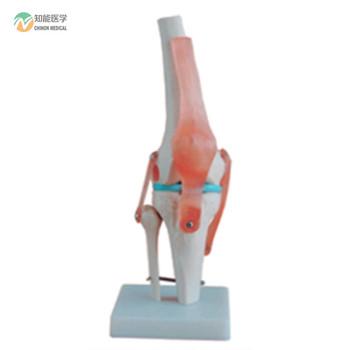 A1019 office supplier plastic teaching human knee anatomy model a1019 office supplier plastic teaching human knee anatomy model ccuart Images