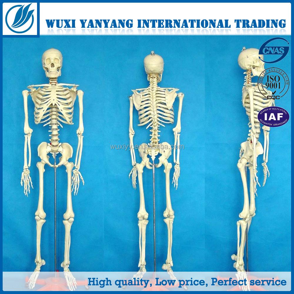 Artificial Adult Human Skeleton 170cm Plastic Human Bones Skeleton