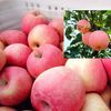 Globe Red Fresh Fuji Apple With Low Price