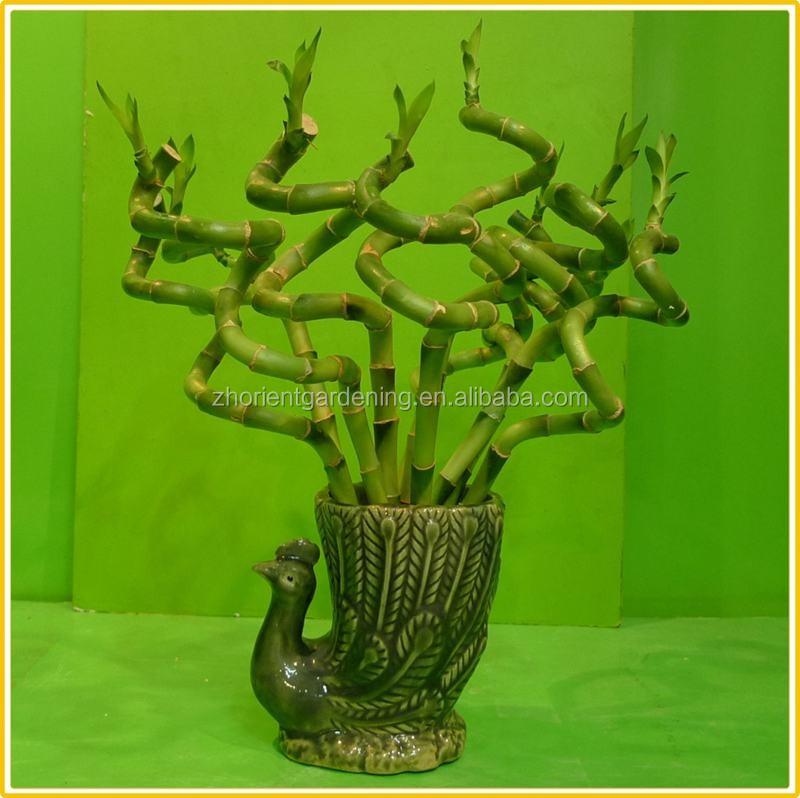 Spiral Lucky Bamboo Stem Bonsai 15cm-100cm Dracaena Sanderiana ...