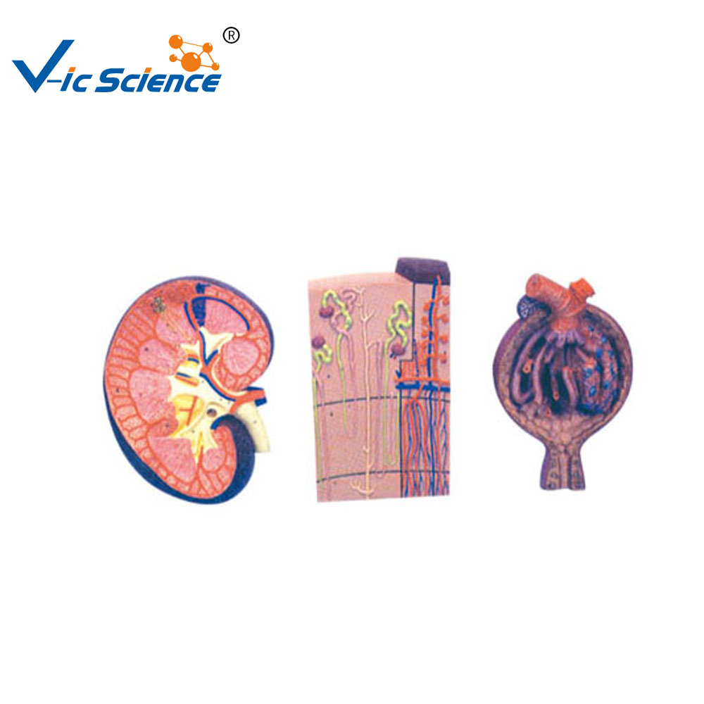Testis Anatomy Testis Anatomy Suppliers And Manufacturers At