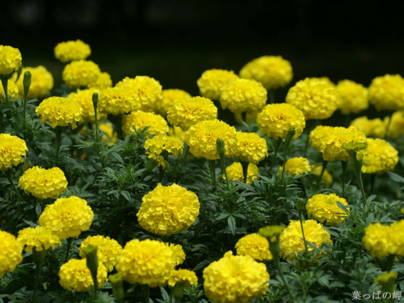 All Varieties Hybrid F1 French marigold seeds For Sale