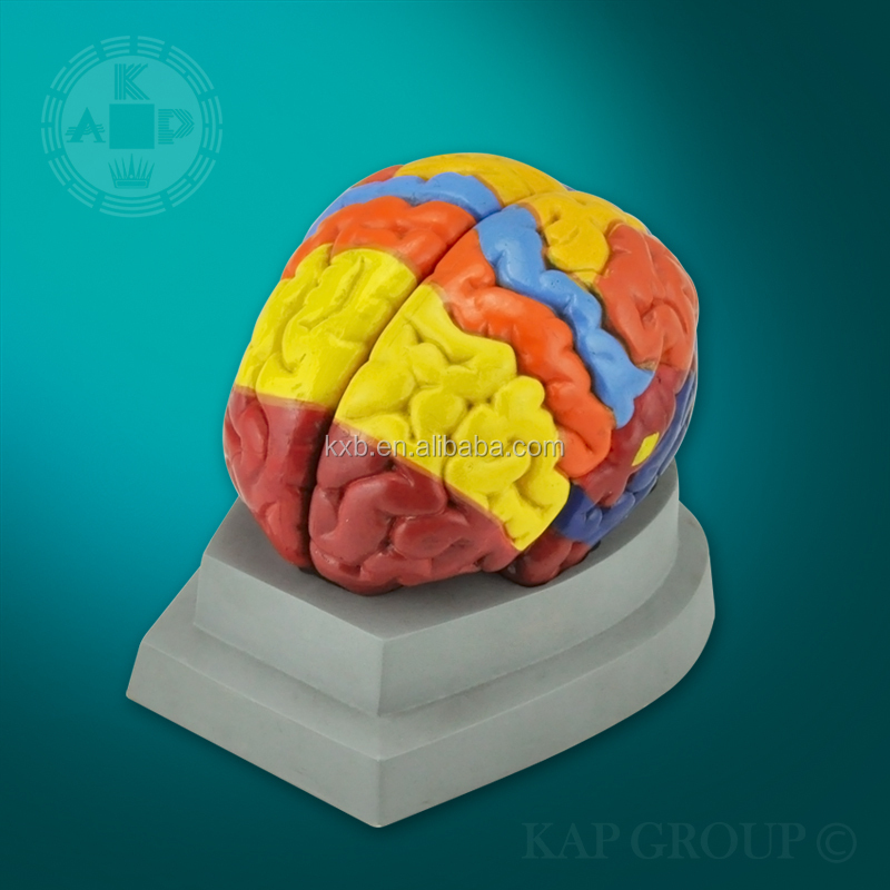 Plastic Medical Human 3d Brain Model/anatomical Brain Model With Base - Buy  Brain Model,Plastic Brain Model,Human Brain Model Product on Alibaba com