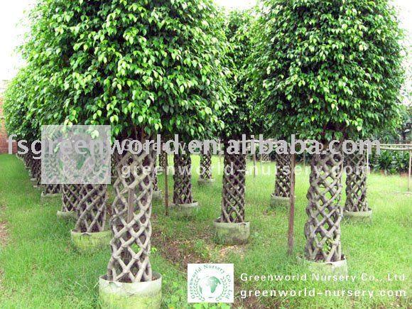 Ficus benjamina vivero bons i identificaci n del producto - Ficus benjamina precio ...