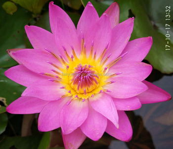 Bowl lotus flower seed for growing high germination rate above 98 bowl lotus flower seed for growing high germination rate above 98 mightylinksfo