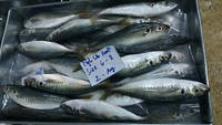24 months Shelf Life fresh frozen round scad fish frozen seafood fish