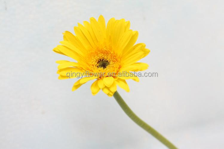 decoração natural flor gerbera gerbera flor de corte de preços por